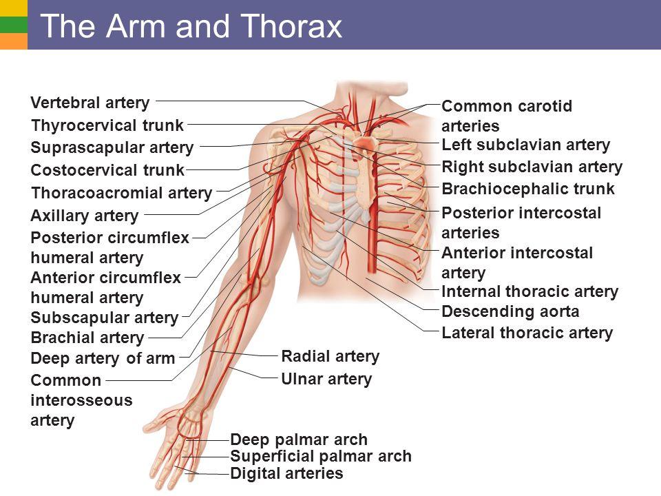 Posterior Intercostal Arteries 13111 | VIZUALIZE