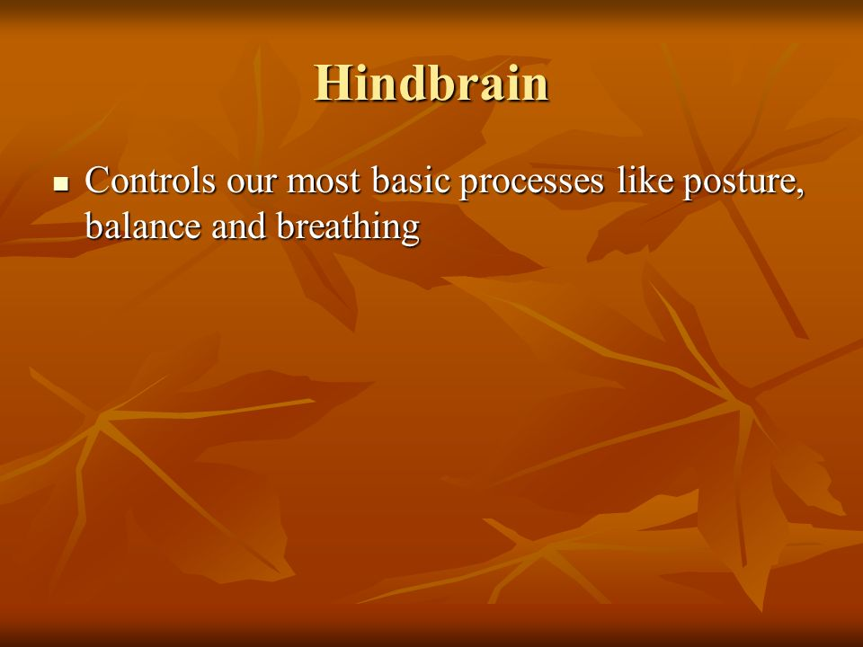 Hindbrain Controls our most basic processes like posture, balance and breathing