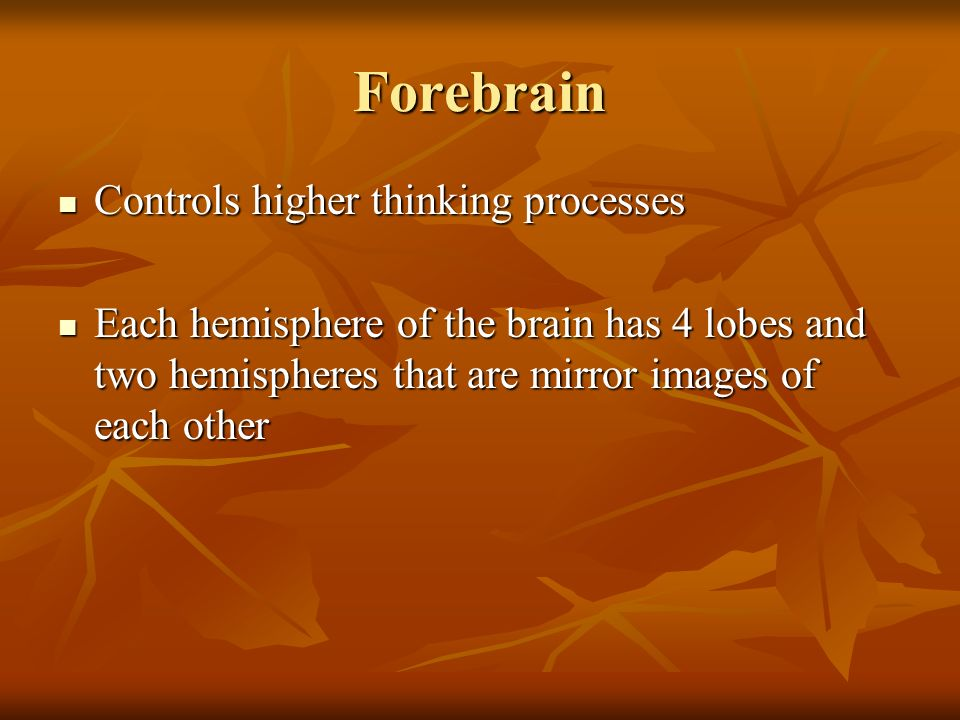 Forebrain Controls higher thinking processes