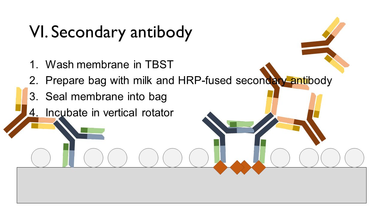 how to choose secondary antibody