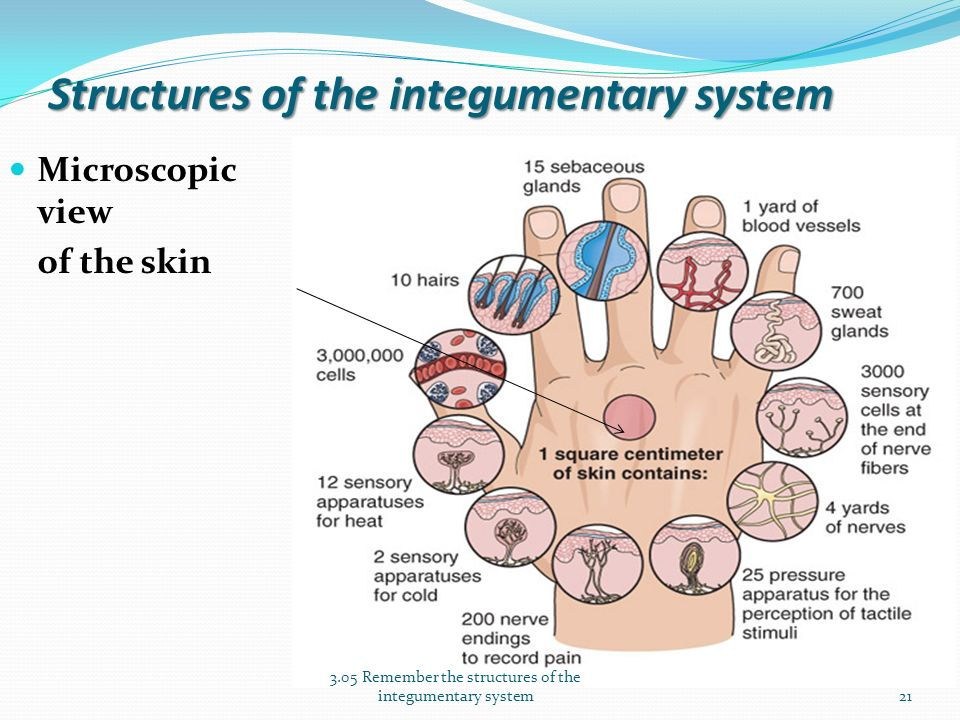 the integumentary system basic structure of Chapter 5: the integumentary system what are the structures and functions of the integumentary system 1 size of the integument the integument is the largest system of the body: 16% of body weight 15.