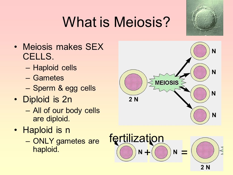 What is Meiosis fertilization + = Meiosis makes SEX CELLS.