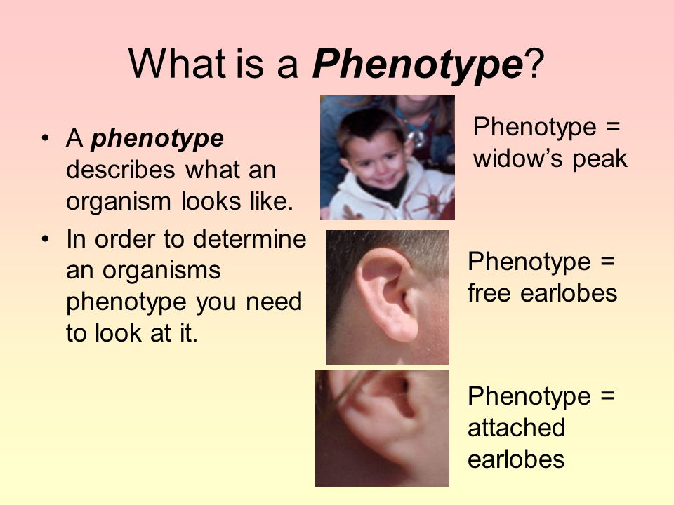 What is a Phenotype Phenotype = widow's peak