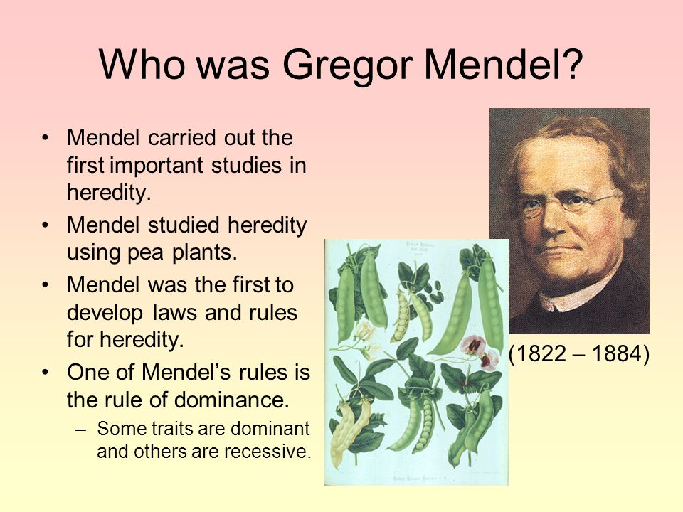 Who was Gregor Mendel Mendel carried out the first important studies in heredity. Mendel studied heredity using pea plants.