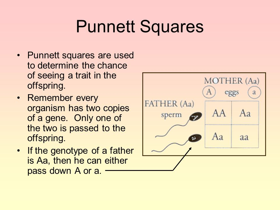 Punnett Squares Punnett squares are used to determine the chance of seeing a trait in the offspring.