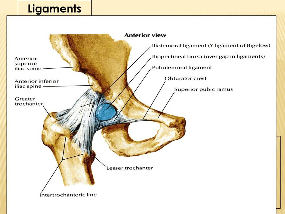 Ausgezeichnet Ligamentum Beere Anatomie Ideen - Anatomie Ideen ...