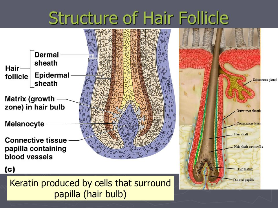 Structure of Hair Follicle