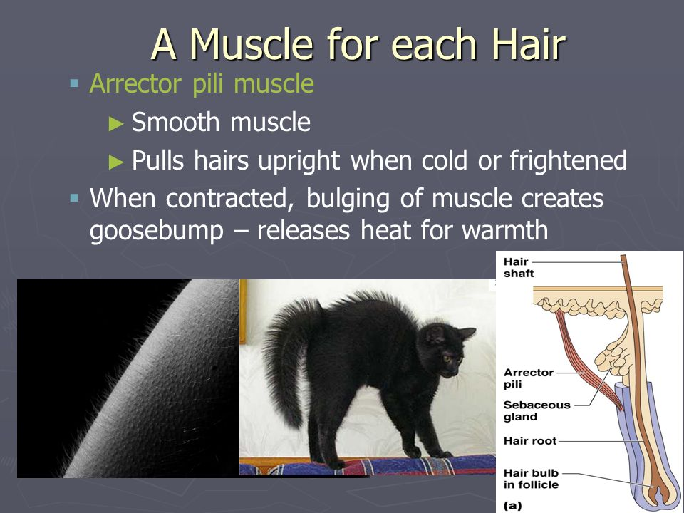 A Muscle for each Hair Arrector pili muscle Smooth muscle