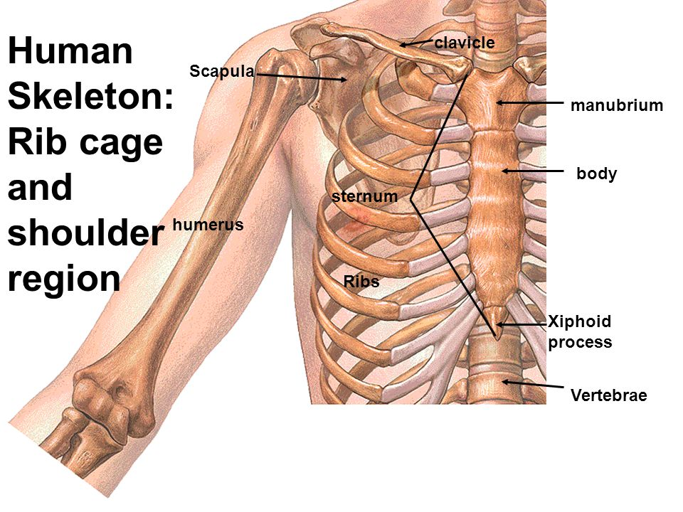 anatomy and physiology - ppt video online download, Skeleton