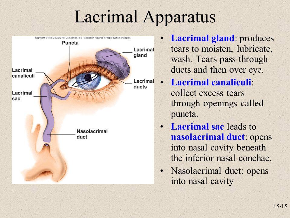 Awesome Anatomy Of Lacrimal Gland Frieze - Human Anatomy Images ...