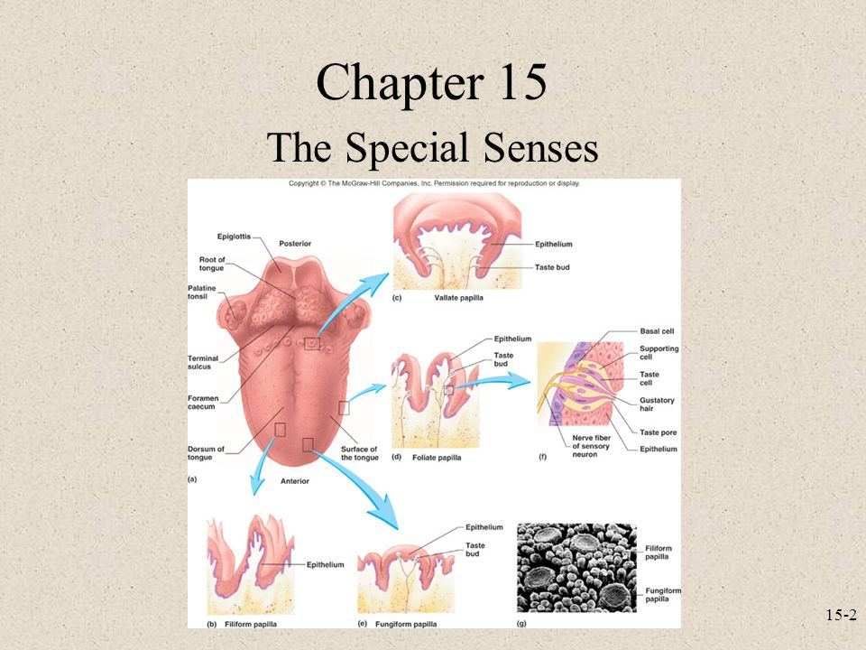 Nett Special Senses Anatomy And Physiology Galerie - Menschliche ...