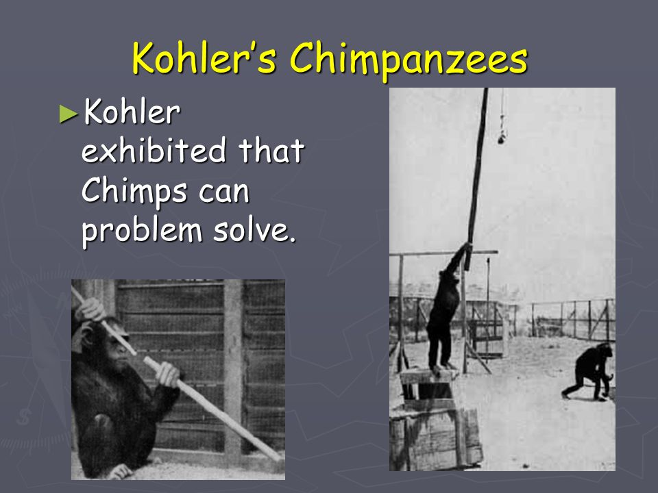 Kohler's Chimpanzees Kohler exhibited that Chimps can problem solve.