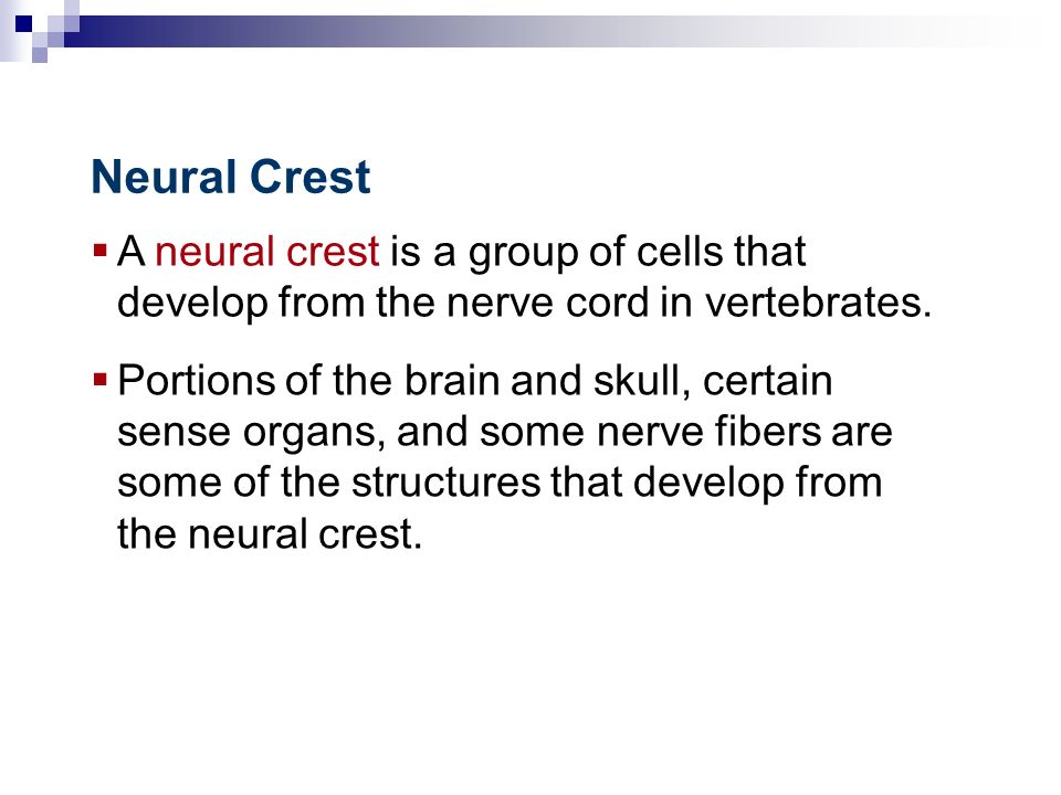 Neural Crest A neural crest is a group of cells that develop from the nerve cord in vertebrates.
