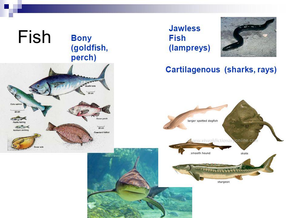 Fish Jawless Fish (lampreys) Bony (goldfish, perch)