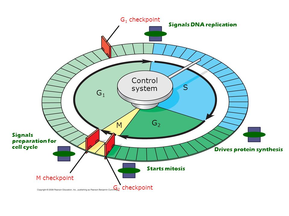 Control system S G1 G2 M G1 checkpoint Signals DNA replication Signals