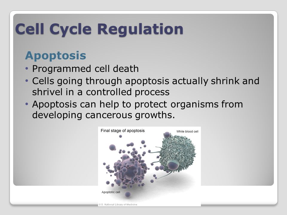 Cell Cycle Regulation Apoptosis Programmed cell death
