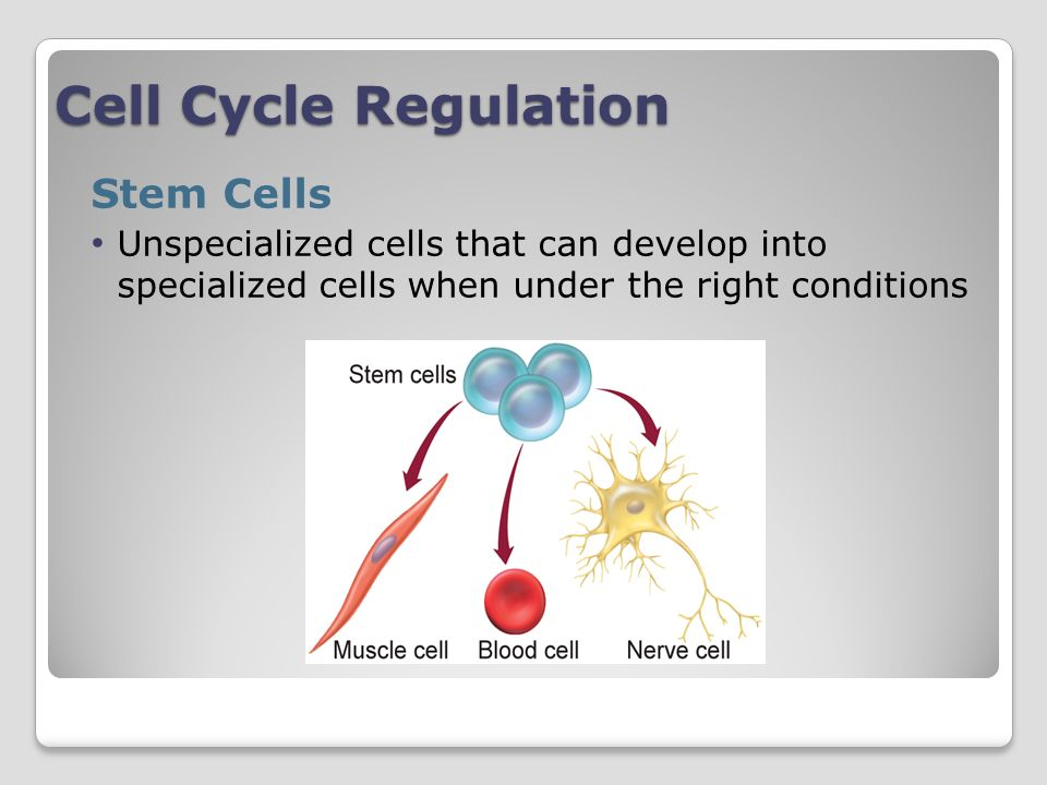 Cell Cycle Regulation Stem Cells