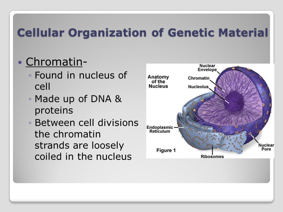 Cellular Organization of Genetic Material