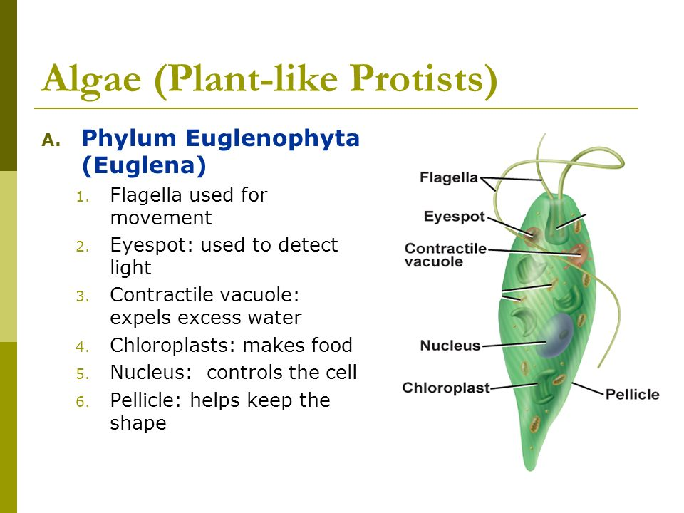 Most Plant Like Protists Can Move To Get Food
