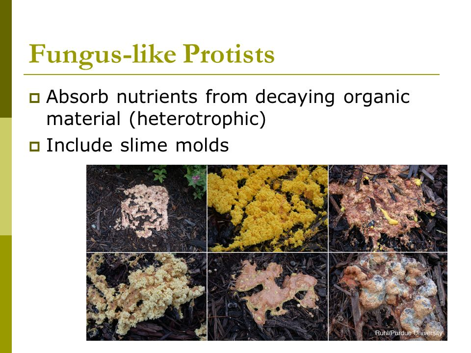 Fungus-like Protists Absorb nutrients from decaying organic material (heterotrophic) Include slime molds.