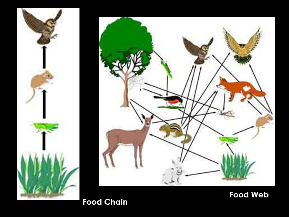 Food Web Food Chain