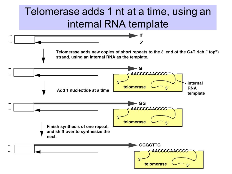 when an rna strand forms using dna as a template - topological problems in replication ppt video online