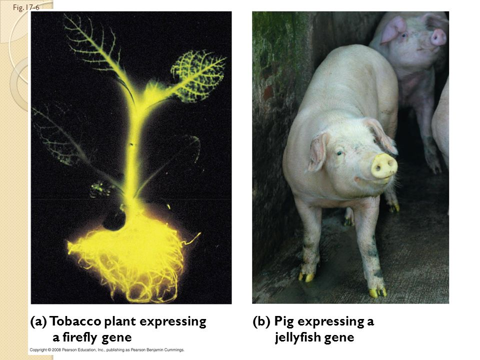 (a) Tobacco plant expressing a firefly gene (b) Pig expressing a