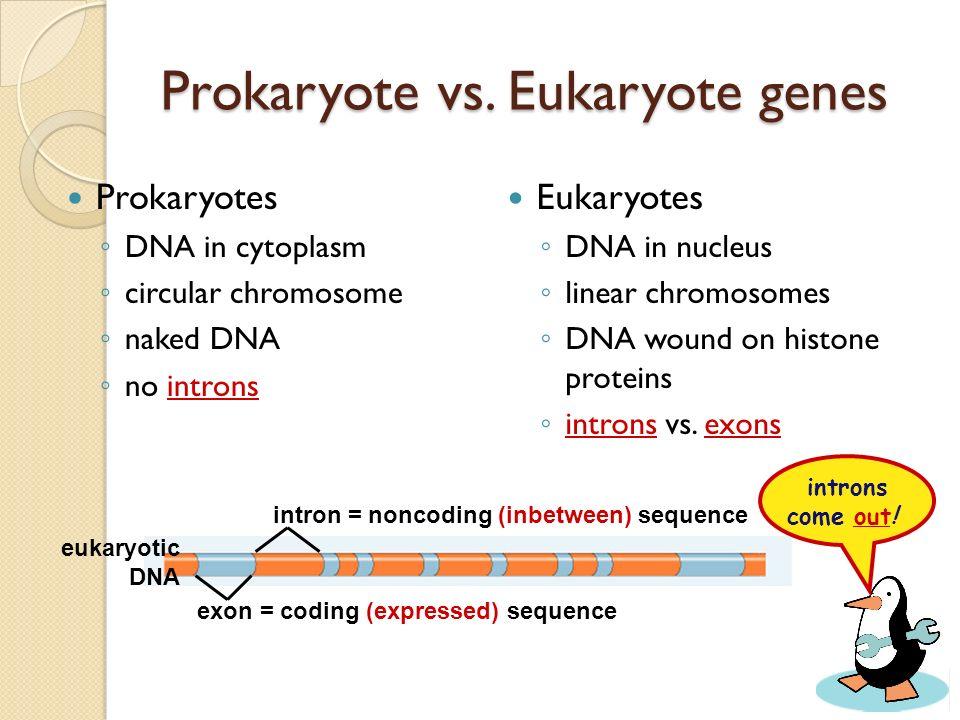 Prokaryote vs. Eukaryote genes