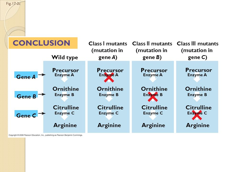 CONCLUSION Wild type Precursor Precursor Precursor Precursor Gene A
