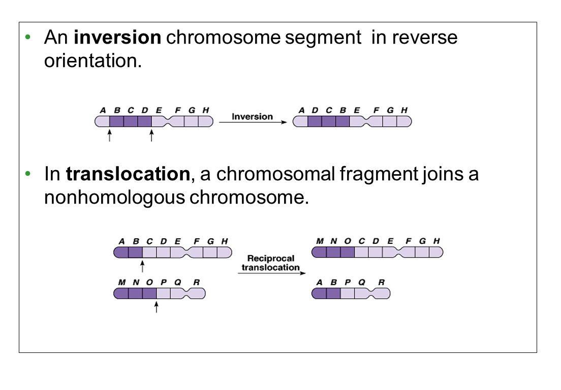 An inversion chromosome segment in reverse orientation.