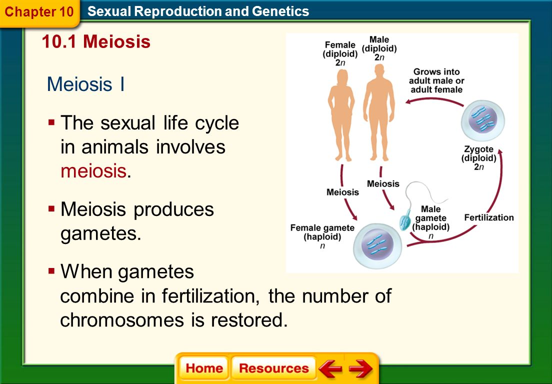 The sexual life cycle in animals involves meiosis.