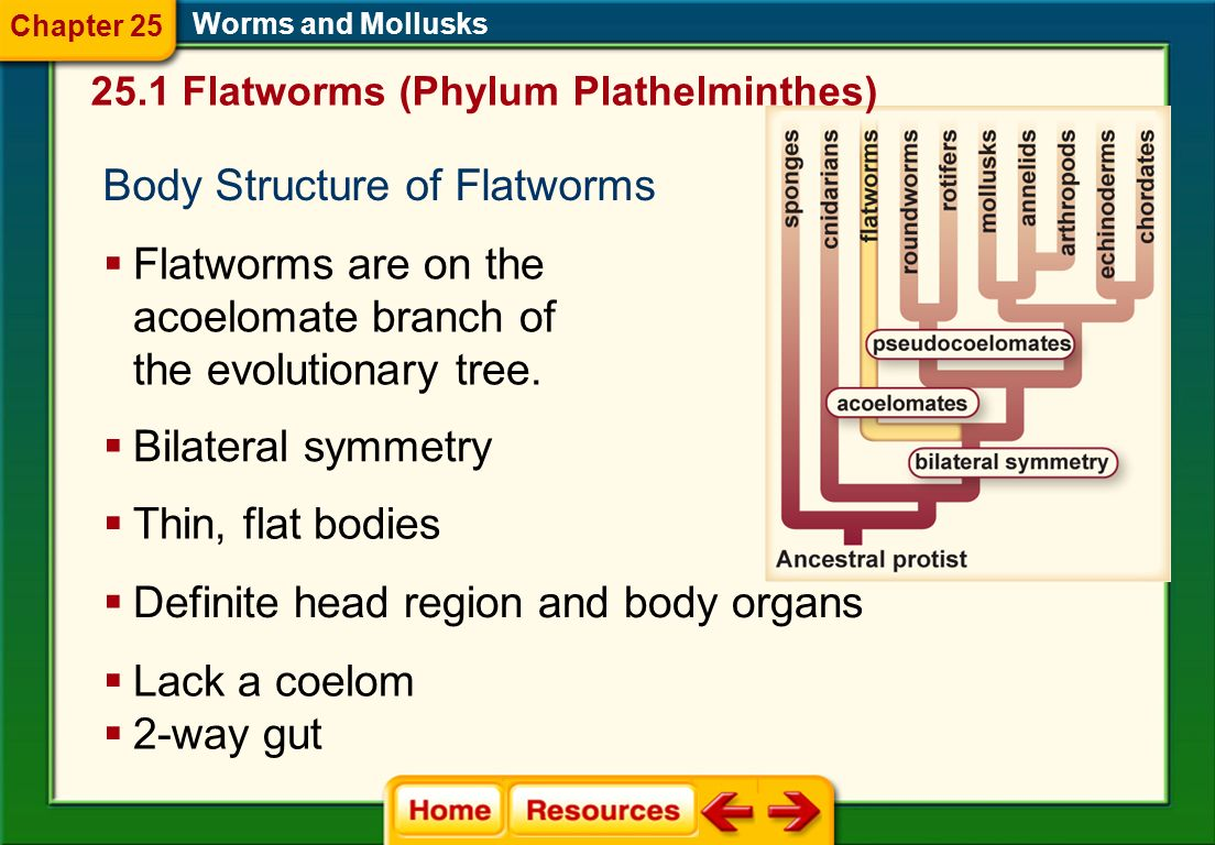 Body Structure of Flatworms