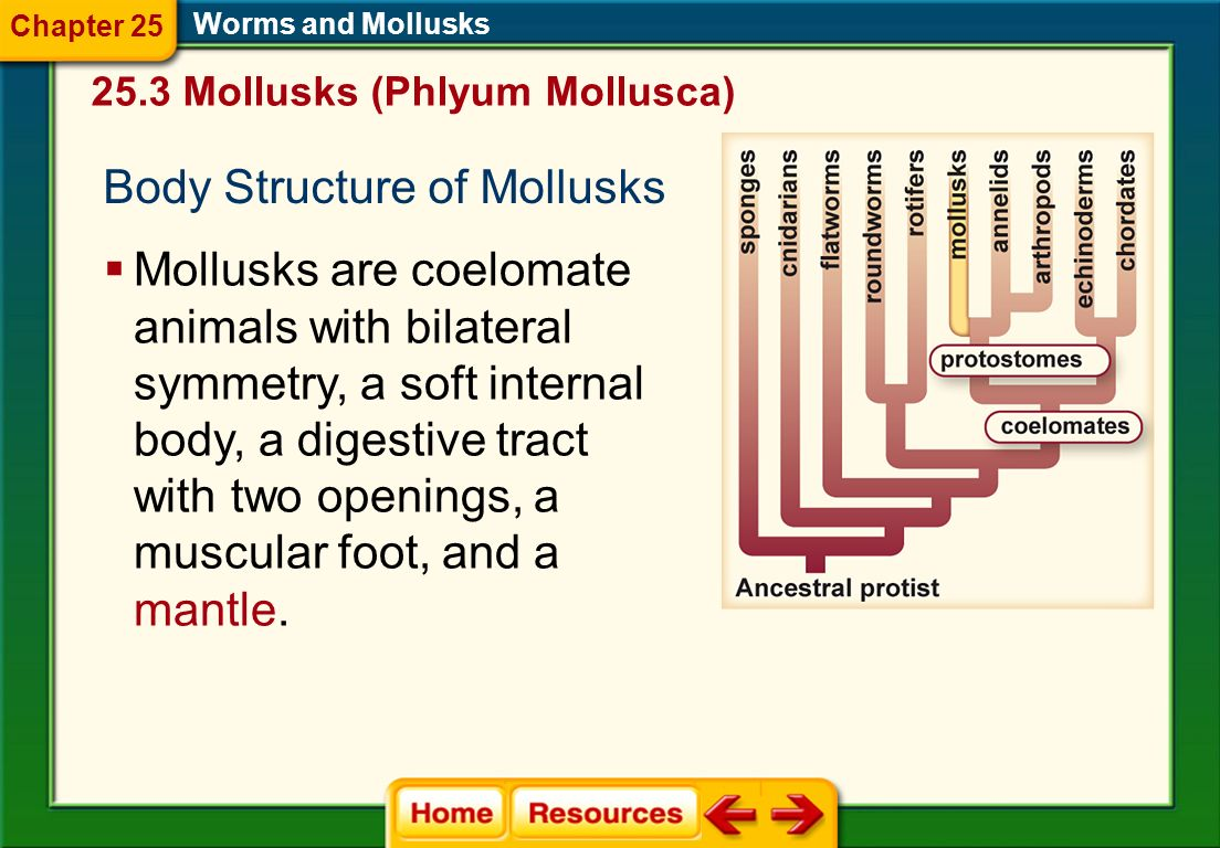 Body Structure of Mollusks