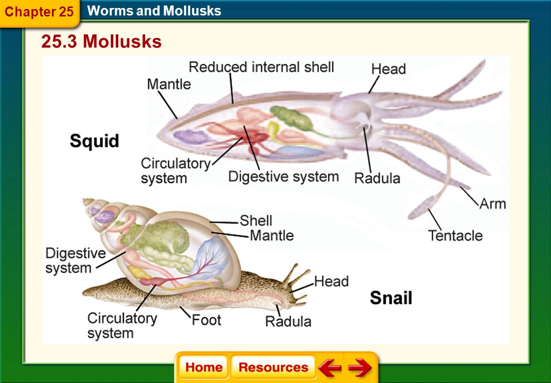 Chapter 25 Worms and Mollusks 25.3 Mollusks