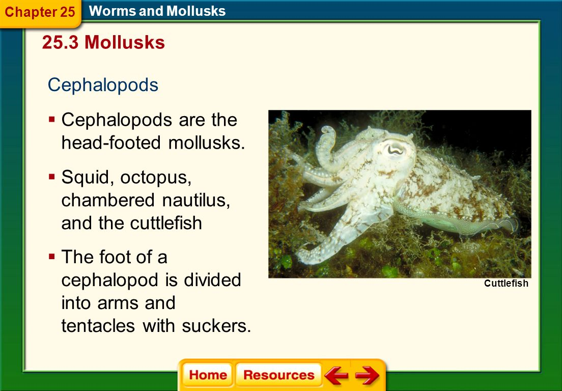 Cephalopods are the head-footed mollusks.