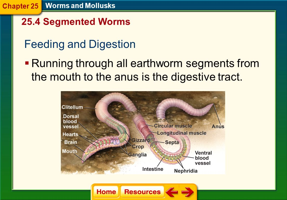Chapter 25 Worms and Mollusks. 25.4 Segmented Worms. Feeding and Digestion.
