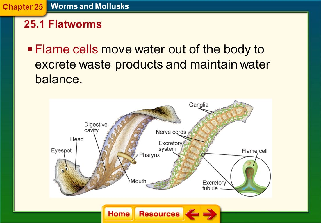 Chapter 25 Worms and Mollusks Flatworms.