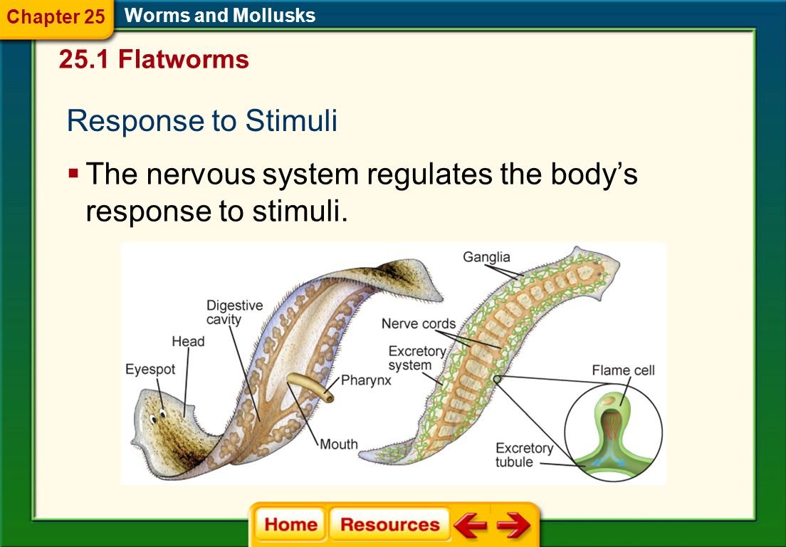 The nervous system regulates the body's response to stimuli.