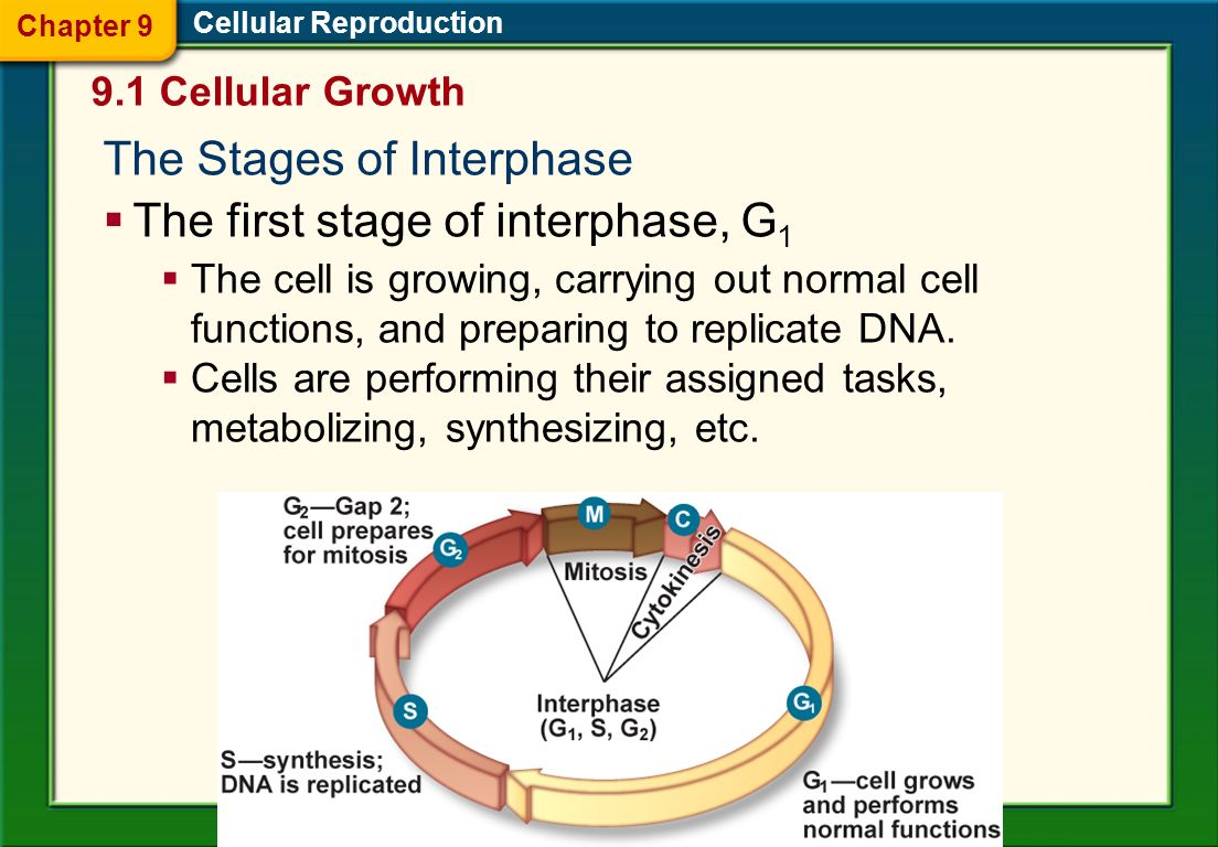 The Stages of Interphase The first stage of interphase, G1
