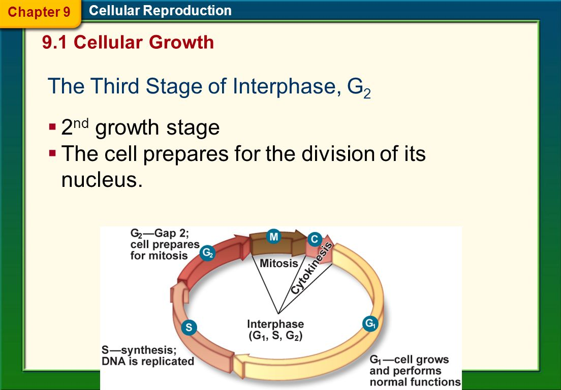 The Third Stage of Interphase, G2