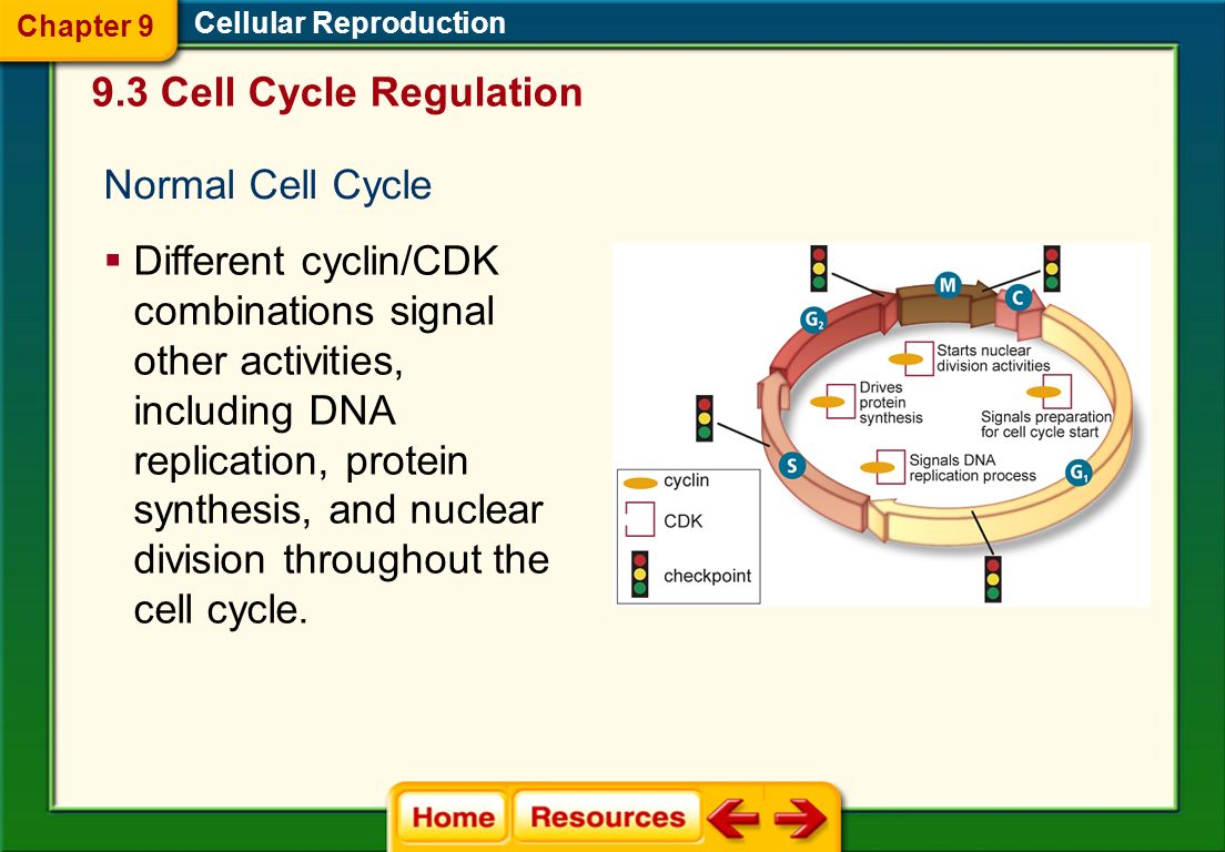 9.3 Cell Cycle Regulation Normal Cell Cycle