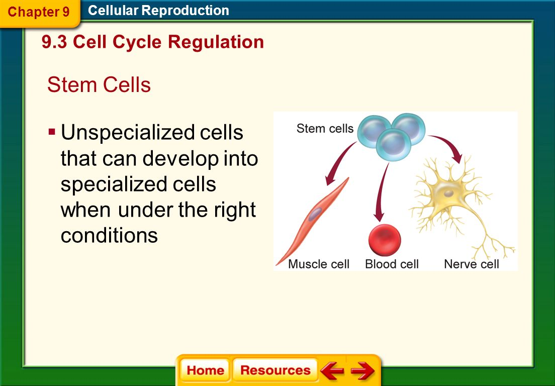 Chapter 9 Cellular Reproduction. 9.3 Cell Cycle Regulation. Stem Cells.