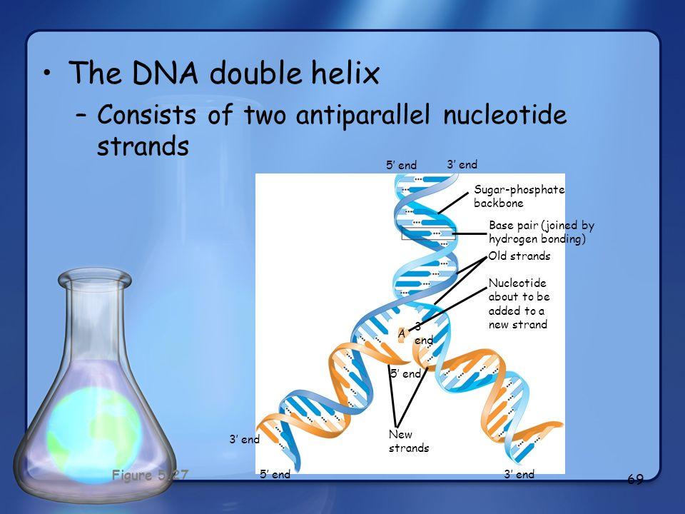 The DNA double helix Consists of two antiparallel nucleotide strands