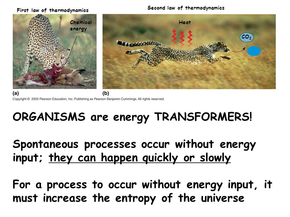 ORGANISMS are energy TRANSFORMERS!