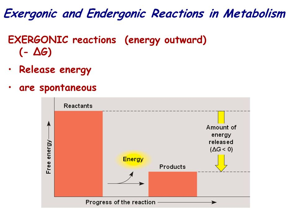 Exergonic and Endergonic Reactions in Metabolism
