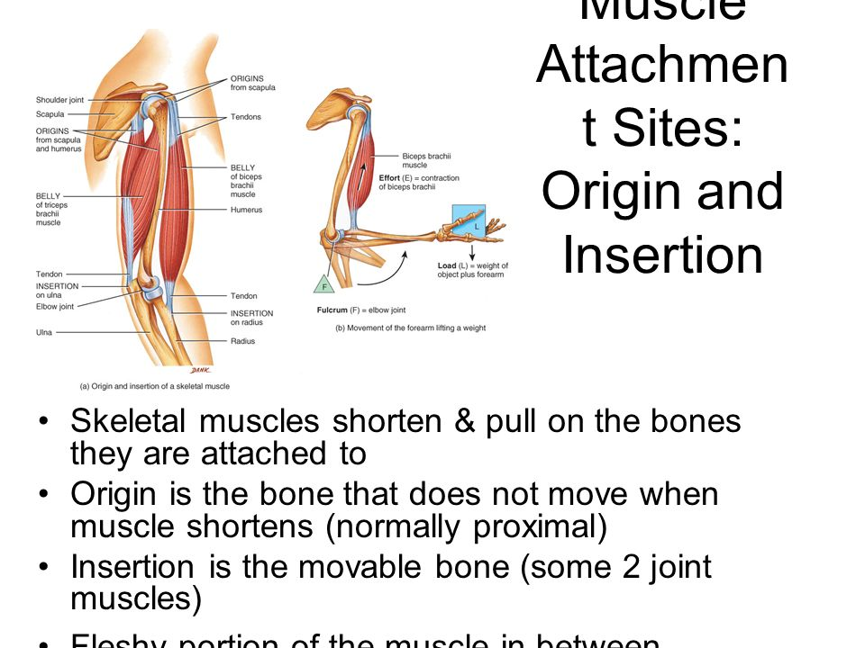 relationship between origin insertion and action of skeletal muscles