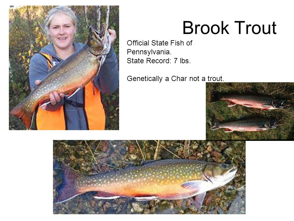 Fish identification updated april ppt video online download for Trout fishing pa
