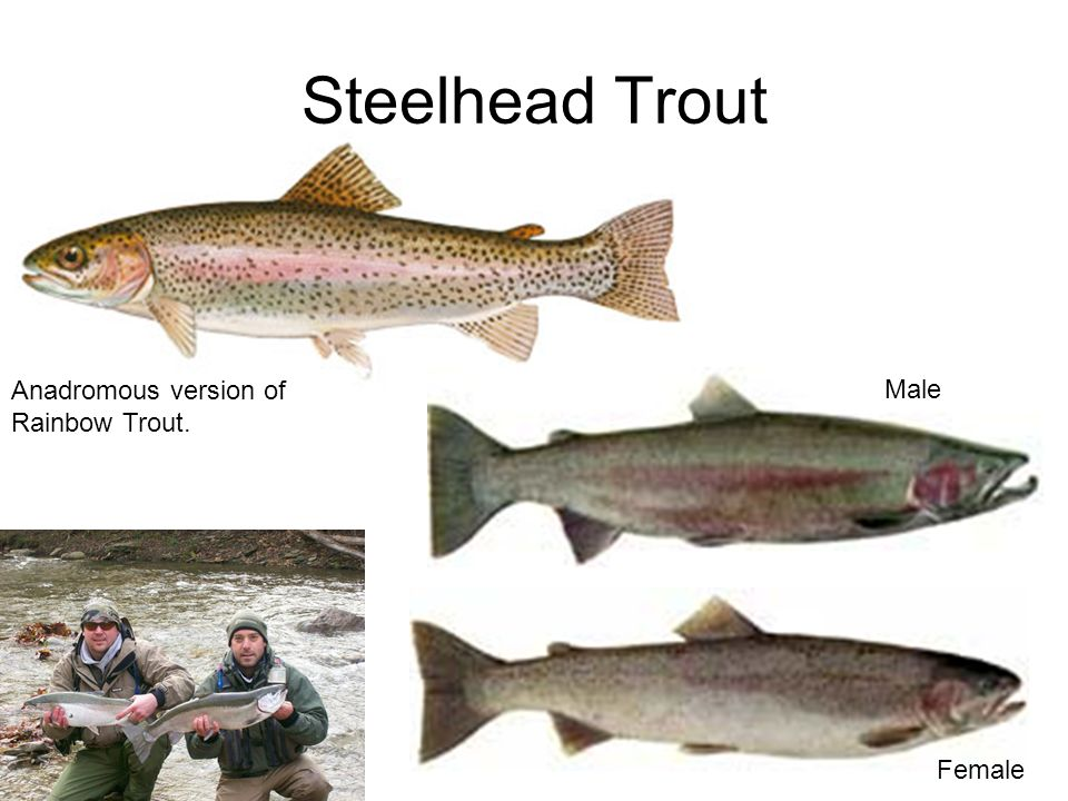 Fish identification updated april ppt video online download for Virginia fish hatchery