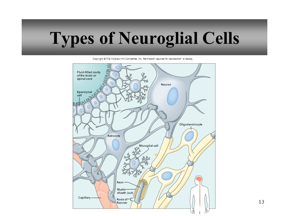 101 introduction cell types in neural tissue neurons ppt types of neuroglial cells ccuart Gallery