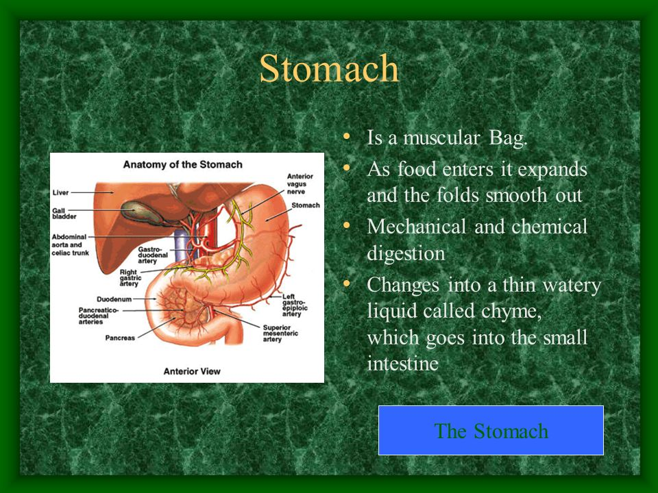 Stomach Is a muscular Bag.